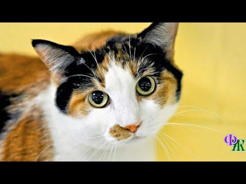Вопрос: Бывают ли трёхцветные коты или только кошки, есть примеры?
