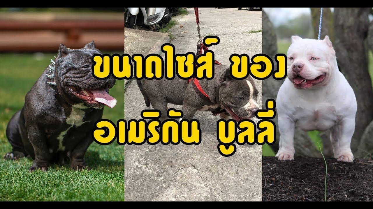 การแบ่งประเภทของหมาอเมริกันบูลลี่ [American Bully] - YouTube