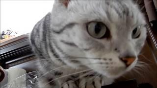 猫の安否確認…慌てるばあちゃんを見てただ事じゃないとタジログ猫 -Earthquake Shakes Cat thumbnail