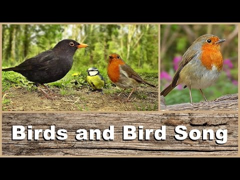 Birds, Bird Song and Sounds : Woodland