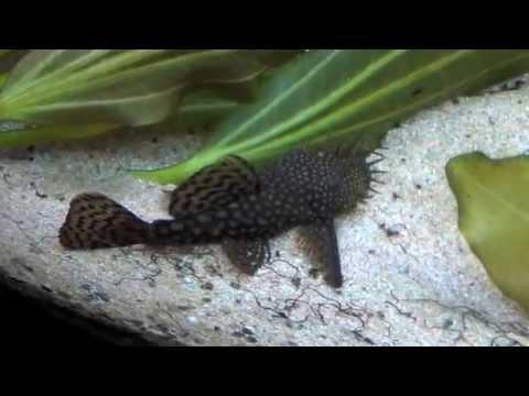 il mio acquario ancistrus o xenocara mangia alghe youtube