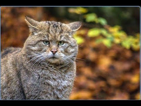 Вопрос: Как вы думаете камышовый кот может дать отпор ротвейлеру?