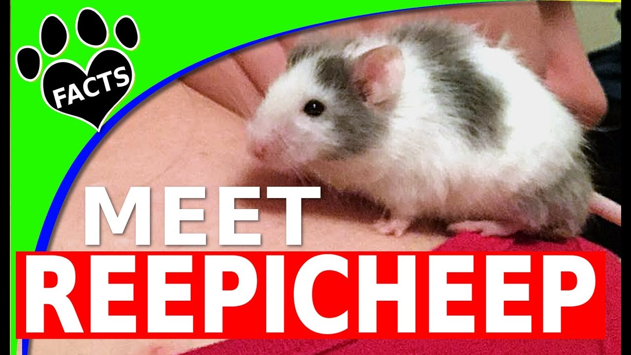 Meet Reepicheep Our Pet Fancy Mouse at Home - Animal Facts