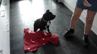 Jambo  Trick Dog: Roll in Blanket. (Staffordshire Bull Terrier)