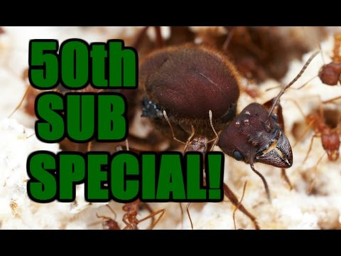 50th Subscriber Special! ~ Atta Colombica (Leaf Cutter Ants) ~ Thanks!