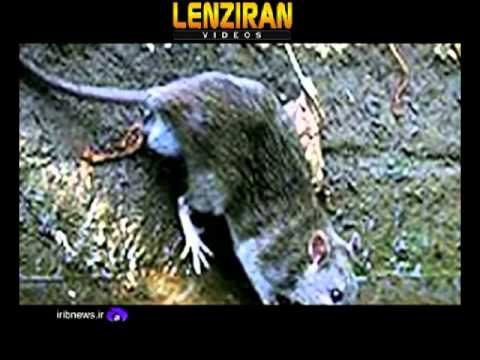 Officials comment about  media reports  about 70 million rats of Tehran