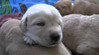 Three-Week-Old Lab/Golden Crosses