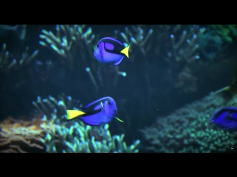 Real. Amazing. Solutions to Protect Tropical Fish like Blue Tangs | SeaWorld®