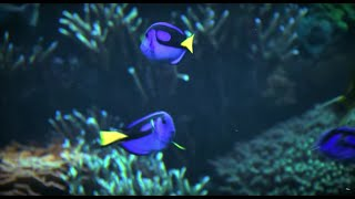 Real. Amazing. Solutions to Protect Tropical Fish like Blue Tangs | SeaWorld® thumbnail