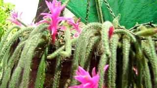 Spider cacti flowers