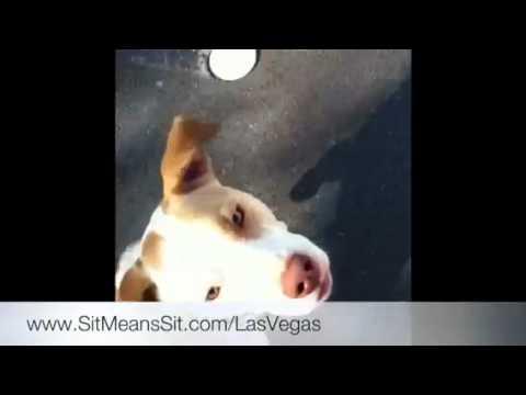 Happy Pit Bull Puppy, Las Vegas Dog Training