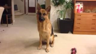 German Shepherd Puts Away His Toys