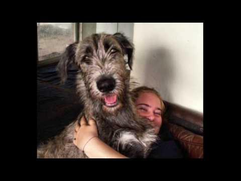 Irish wolfhound documentary—SS