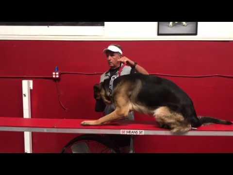 Dog and people aggressive German Shepherd