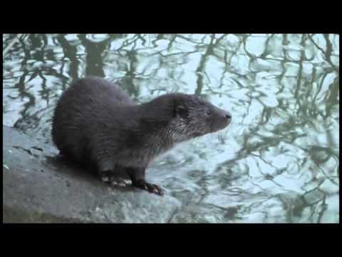 Otters UK - Best yet at Ravensthorpe