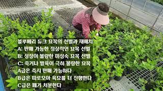 블루베리 묘목 듀크와 뉴하노버 소개