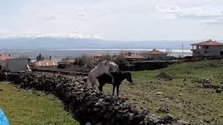 ÇILGIN KÖYLÜ 😅Eşşek ve atlar  yok  böyle  çiftleşme 🤣 Çıfte  kumrular  sizi