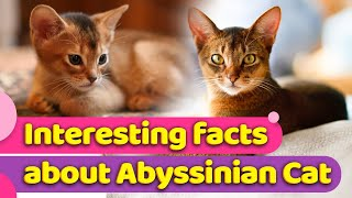 Abyssinian Cats : Everything You Need To Know