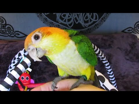 Baby White Bellied Caique Boys – Playtime