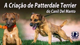 A Criação de Patterdale Terrier do Canil Del Manto. Ep. 09.