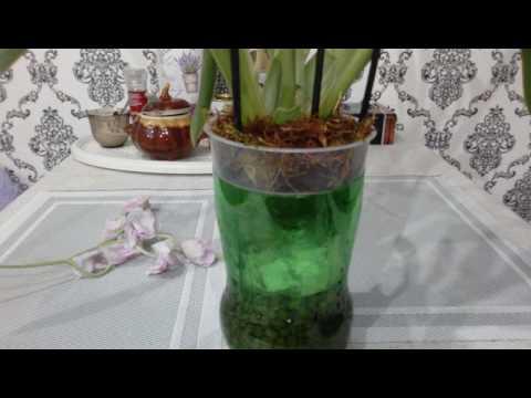 Орхидея без корней.Мильтониопсис.(((