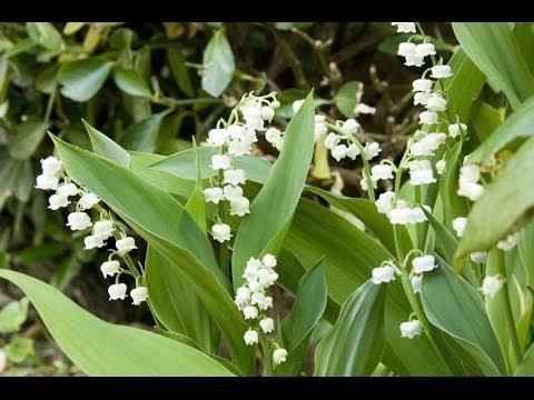 Le muguet une plante toxique youtube - Ou planter le muguet ...