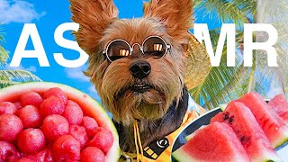 Giant Yorkie Eating Watermelon at the beach