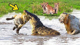 Huge Mistake Of The Crocodile When Provoke Lion Queen Epic Battles Of King Lion Vs Crocodile