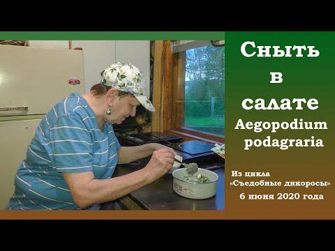 Сныть в салате. Aegopodium podagraria.