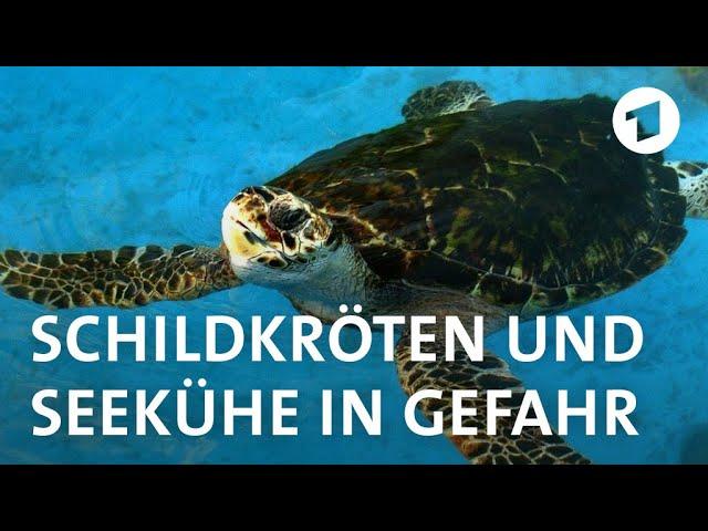 Schildkröten und Seekühe an Brasiliens Traumküste durch Menschen bedroht | Weltspiegel Reportage
