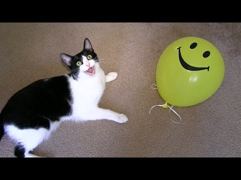 KITTIES VS. BALLOON!  |  CUTE CRAZY FUNNY CATS