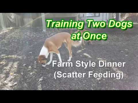 Training 2 Dogs at Once - Scatter Feeding