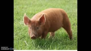 Swine Breeds Quiz