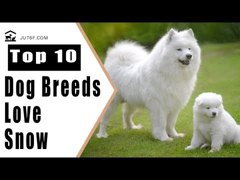 8 Dog Breeds That Love the Snow - Cold Weather Dog Breeds