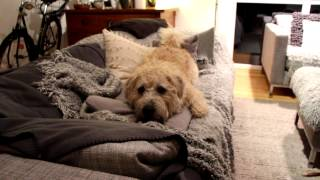 Glen of Imaal Terrier Cuba Libre (Spirit of Ireland) 2012-12-20