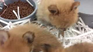 Pomeranian - Chihuahua (pom-chi) Puppies At Our Sprague Store