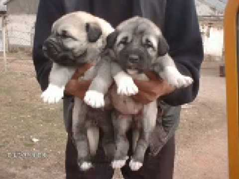 k rt sivas kangal inek bogus kurdish kangal puppy youtube. Black Bedroom Furniture Sets. Home Design Ideas