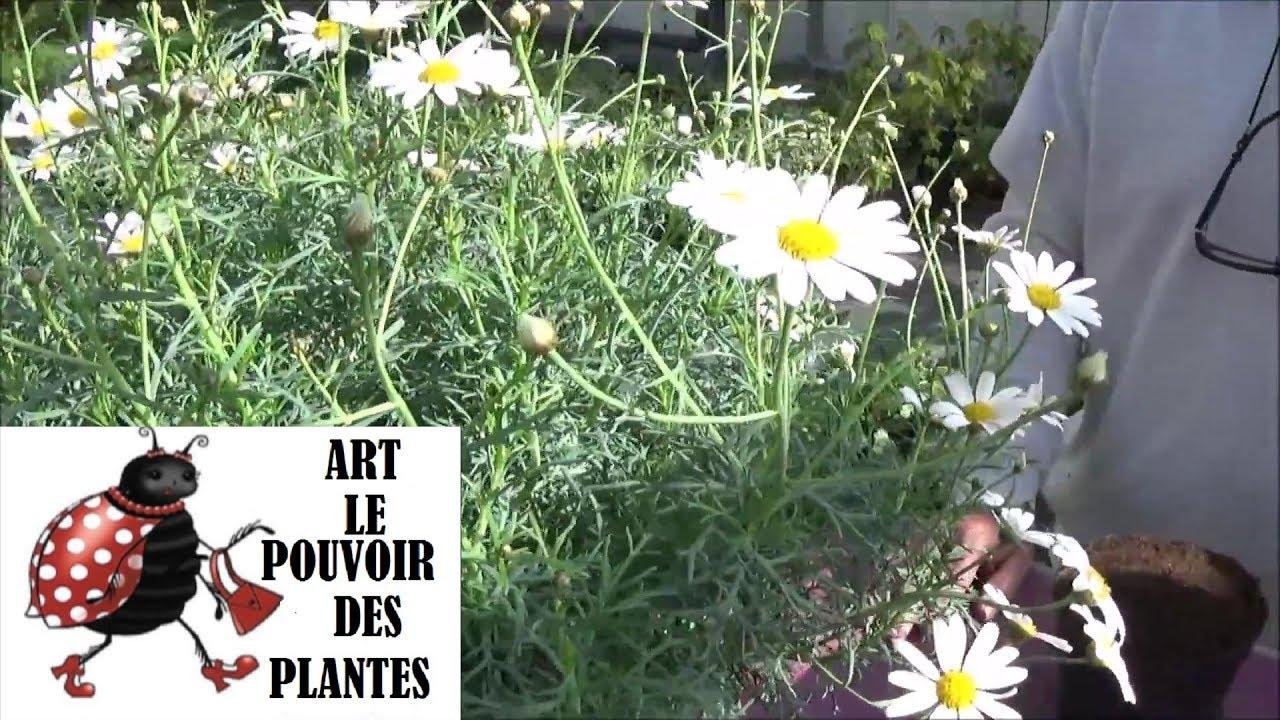chaine tv de jardinage: anthémis: comment arroser et faire une
