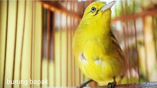 Gambar cover Burung sirtu nyiul cari lawan, suara tebal mental ok