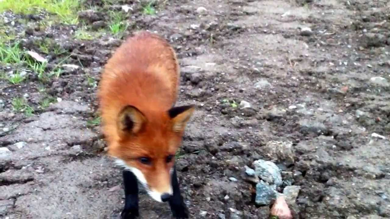 how to stop foxes eating my chickens