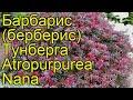 Барбарис тунберга Атропурпуреа нана. Краткий обзор, описание характеристик, где купить саженцы