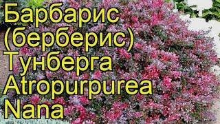 видео Барбарис Тунберга Green Ornament