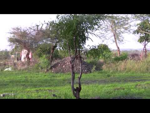 Indian gooseberry,Phyllanthus emblica,Amla,Amalika,The Holy Tree Of Hindu india Travel Video