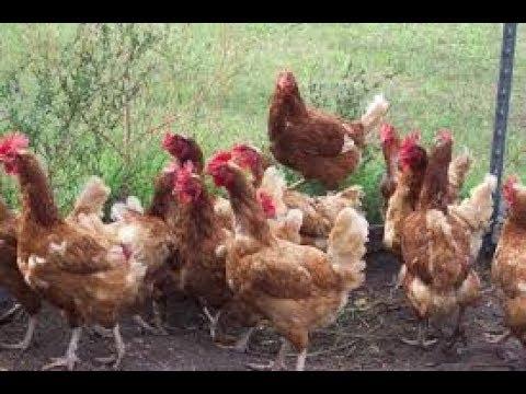 Avian Influenza in poultry- ಹಕ್ಕಿಯ ಜ್ವರ