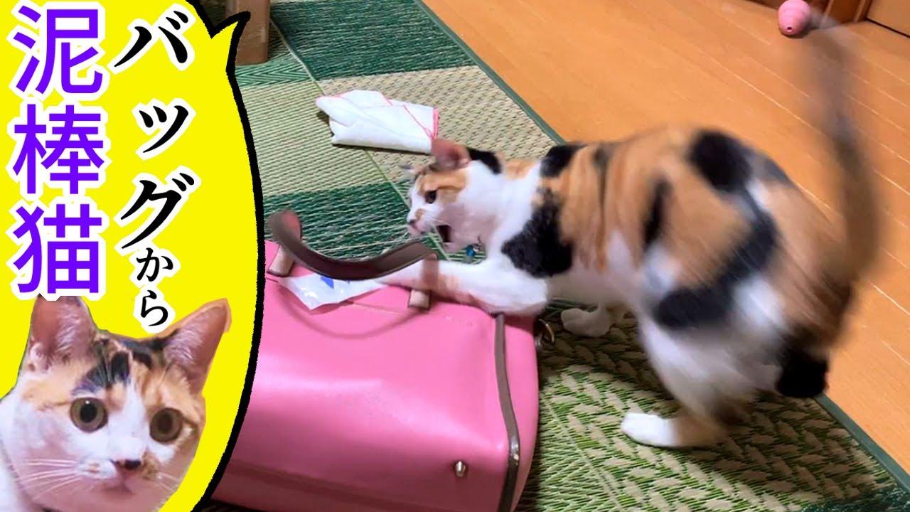 【三毛猫】母のバッグから泥棒猫するのがマイブーム