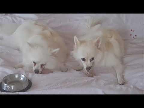 German Spitz: Mother & Daughter have breakfast in bed