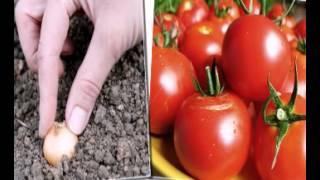 семена овощей сингента украина(, 2015-02-05T11:52:26.000Z)