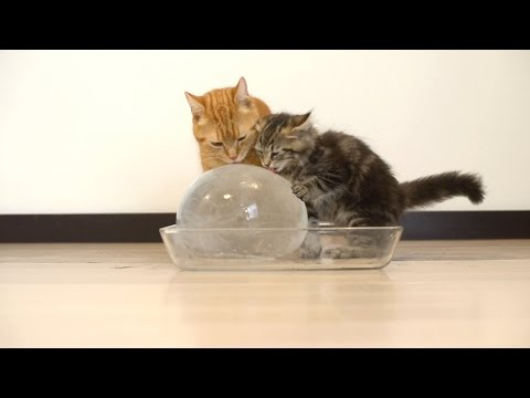 Cats React To Ice Balls & It's Hilarious!