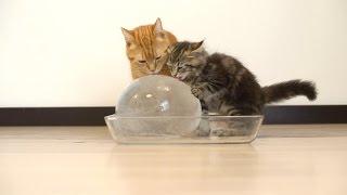 10 Cats to Enjoy Ice Ball 丸い氷を楽しむ10匹の猫