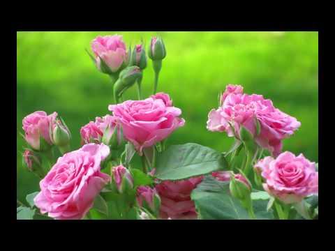 Самый красивый букет роз в мире фото
